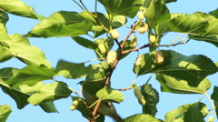 Bird pecking the fruit of mulberry. - stock footage