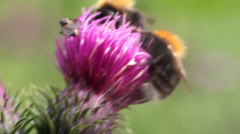 Summer Bumble bee insect flower macro Stock Footage