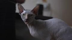 Sphinx cat showing teeth Stock Footage