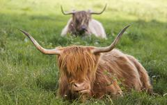 Highland cattle Bos taurus Bergisches Land or Land of Berg North Stock Photos