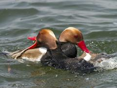 Red crested pochard Netta rufina males in rank fight Chiemsee Bavaria Germany Stock Photos
