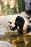 Panda near water - stock photo