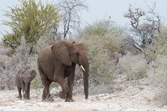 African bush elephants Loxodonta africana cow with calf Etosha National Park Stock Photos