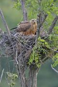 Stock Photo of Long legged buzzard Buteo rufinus female in nest protecting her offspring
