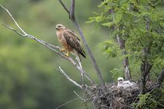 Long legged buzzard Buteo rufinus female and fledgling in nest Pleven Province Stock Photos