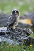 Long eared owl Asio otus sitting on old willow Salix sp trunk offspring - stock photo