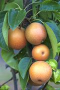 Asian pear Pyrus pyrifolia Baden Wurttemberg Germany Europe - stock photo