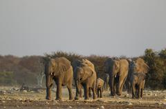 African elephant Loxodonta africana breeding herd rushing towards waterhole Stock Photos