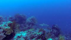 Black Tip Shark Approaching Stock Footage