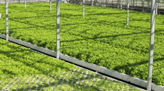 Panorama greenery growing in the greenhouse Stock Footage
