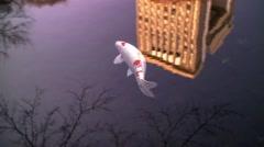 Japanese Garden Koi Fish Stock Footage