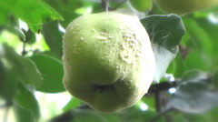 single quince fruit hanging from a tree close up - stock footage