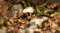 Autumn leaves fall on a lone mushroom raincoat Stock Footage