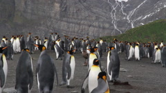 KIng penguin Colony with chicks Stock Footage
