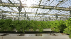A bed with a green salad in a large greenhouse. The camera moves along the bed Stock Footage