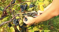 Young woman farmer picking red wine grapes in organic farm vineyard Stock Footage