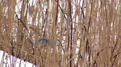 Titmouse of the reeds Stock Footage