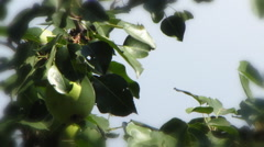 Green pear hanging from a tree against the sky in a frame of leaves Stock Footage