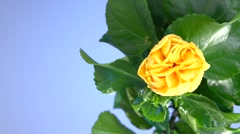 yellow flower blossoms on a blue background. time lapse. - stock footage