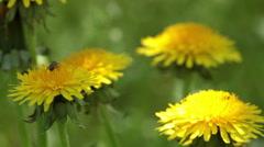 Bee on a dandelion - stock footage