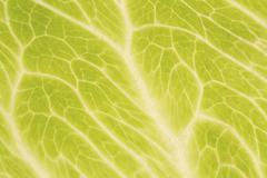 Iceberg lettuce leaf close up - stock photo