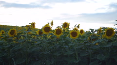 Sunflower Field on the sunset  timelaps Stock Footage