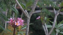 Plumeria flower with bridge and traffic in background,Ubud,Bali,Indonesia - stock footage