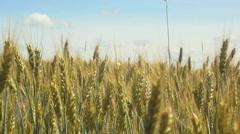 Grain growing in a farm field Stock Footage