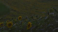Sunflower Field on the sunset - stock footage
