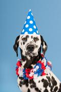 Dalmatian dog as birthday animal on blue background Stock Photos