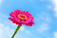 One pink Zinnia flower on stem with blue sky Stock Photos