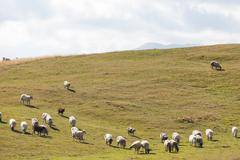 flock of sheep on green grass - stock photo