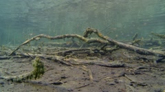 School of small perch swimming over a lake bottom with sunken tree branches - stock footage