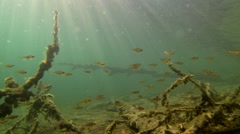 School of small perch swimming over underwater snags Stock Footage