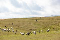 Flock of sheep on green grass Stock Photos