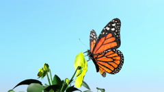 Butterfly monarch ands flowers blue sky Stock Footage