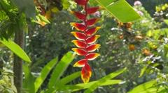 Heliconia plant,Ubud,Bali,Indonesia Stock Footage