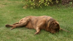 Brown labrador lying on the grass Stock Footage