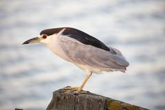 Black-crowned Night-Heron (Nycticorax nycticorax) close-up Stock Photos