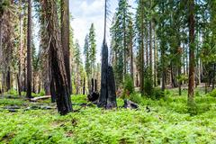 Burnt giant sequoia tree Sequoiadendron giganteum in Sequoia National Park - stock photo