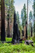 Burnt giant sequoia tree Sequoiadendron giganteum in Sequoia National Park Stock Photos