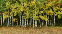 Breeze in Fall Aspen Grove Stock Footage