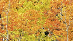Autumn colors in Aspen Trees - stock footage