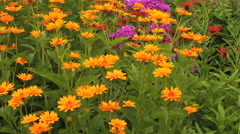 Calendula flowers - stock footage