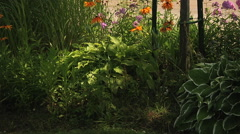 Daisy Margarita and Hosta Pilgrim in the dark corner of the garden - stock footage