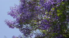 Blue Jacaranda Tree In Blossom Stock Footage