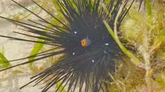 black sea urchin echinoidea moving its mouth anus.mp4 - stock footage