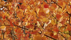Gentle breeze an fall aspen leaves Stock Footage