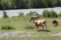 Cows graze near a river in Altai mountains - stock photo