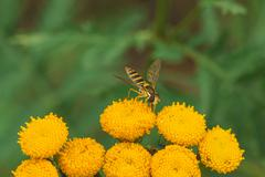 Hoverfly on Tansy Flower - stock photo